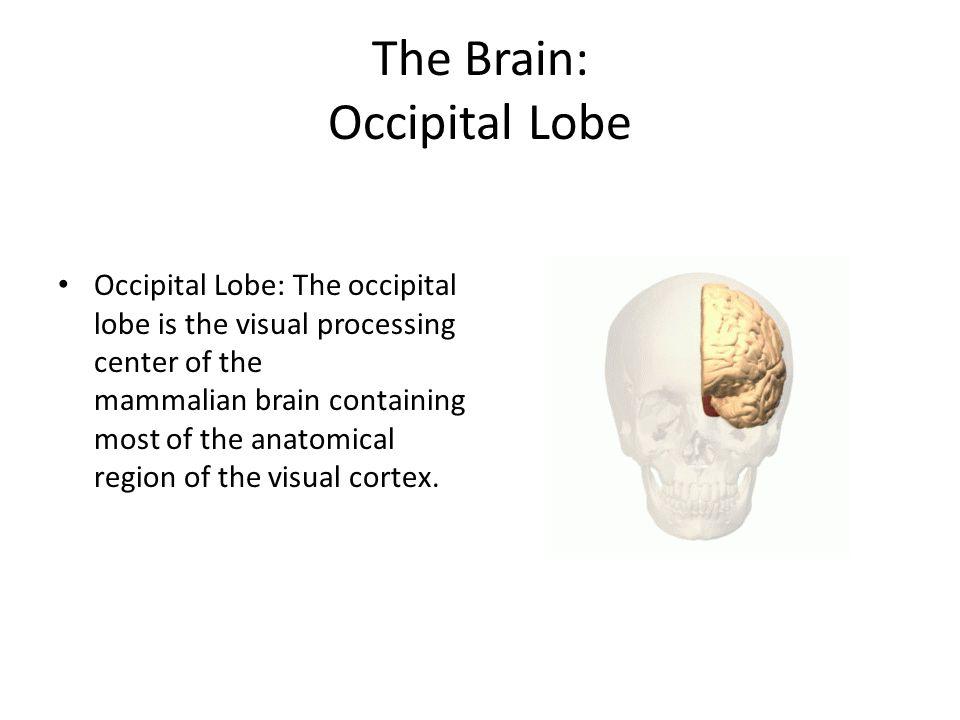 The Brain: Occipital Lobe
