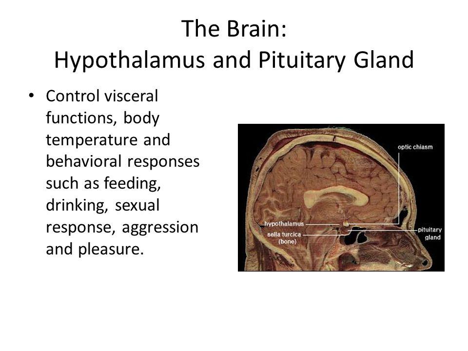 The Brain: Hypothalamus and Pituitary Gland