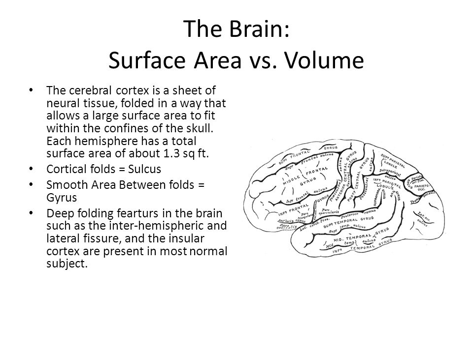 The Brain: Surface Area vs. Volume