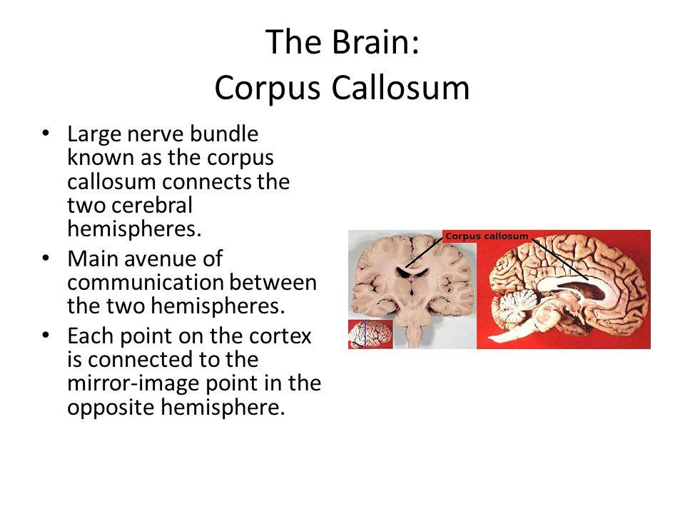 The Brain: Corpus Callosum
