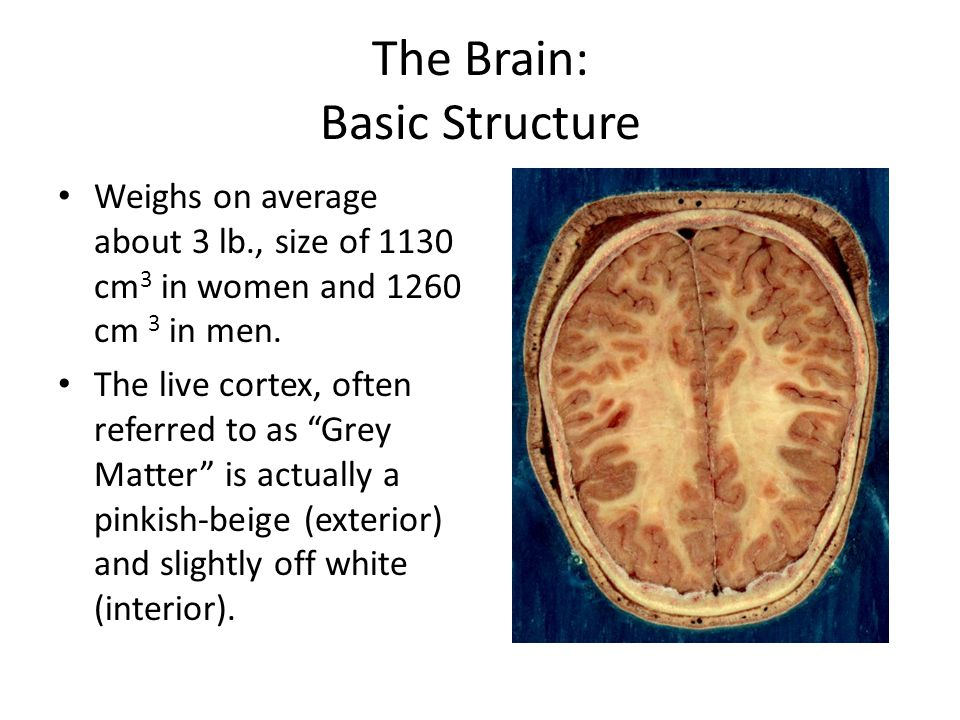 The Brain: Basic Structure