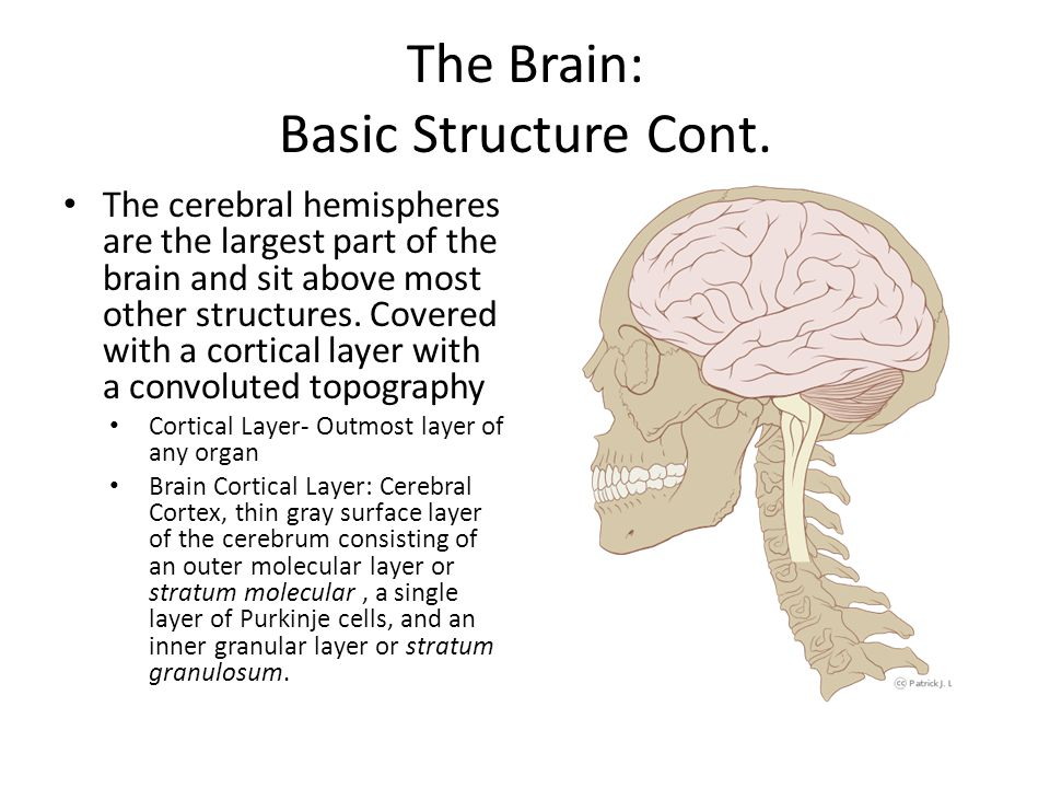 The Brain: Basic Structure Cont.