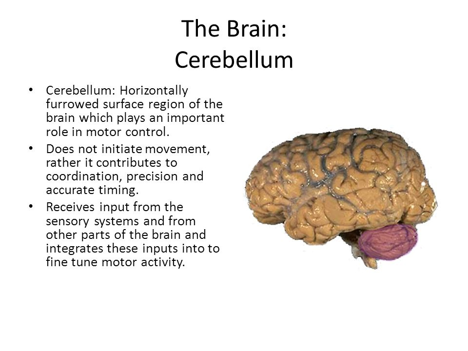The Brain: Cerebellum Cerebellum: Horizontally furrowed surface region of the brain which plays an important role in motor control.