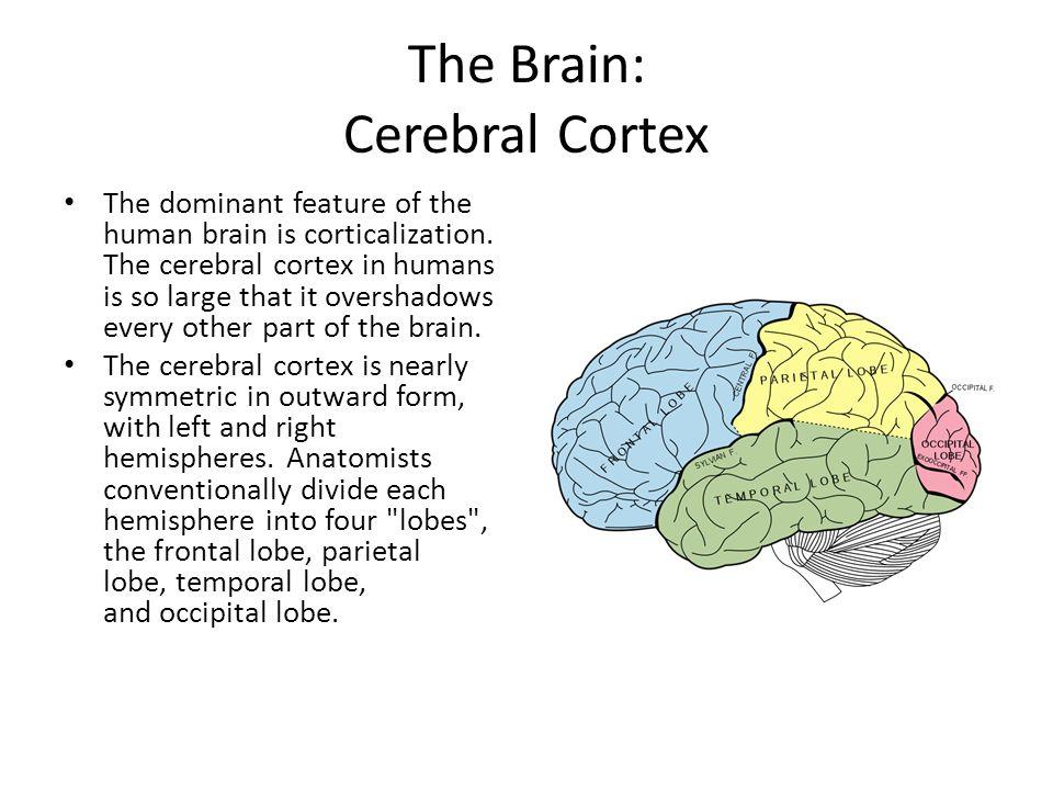The Brain: Cerebral Cortex