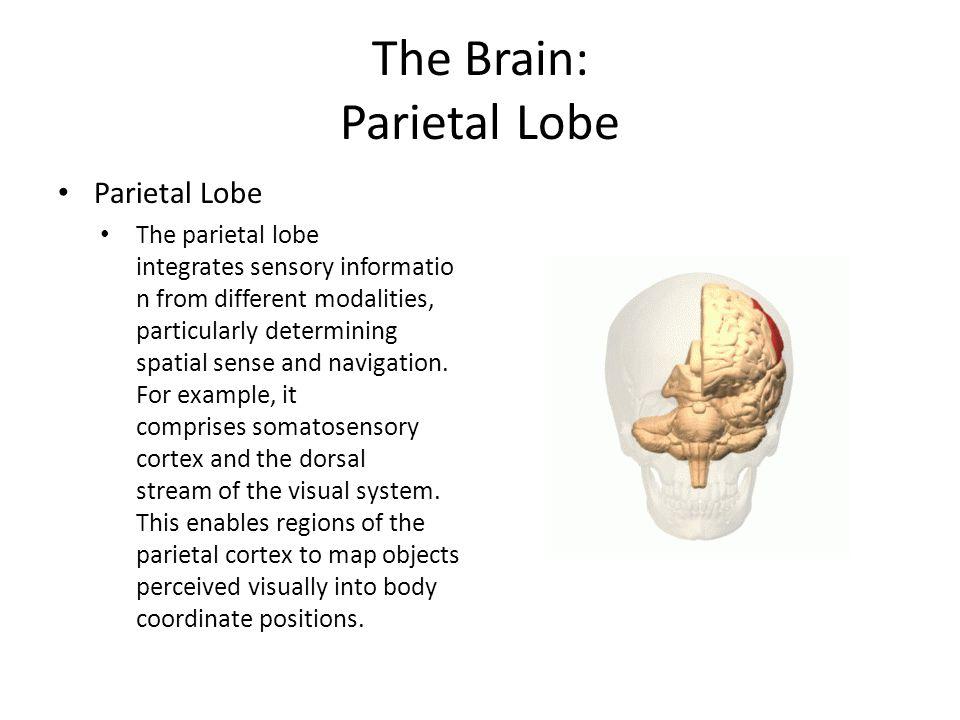 The Brain: Parietal Lobe