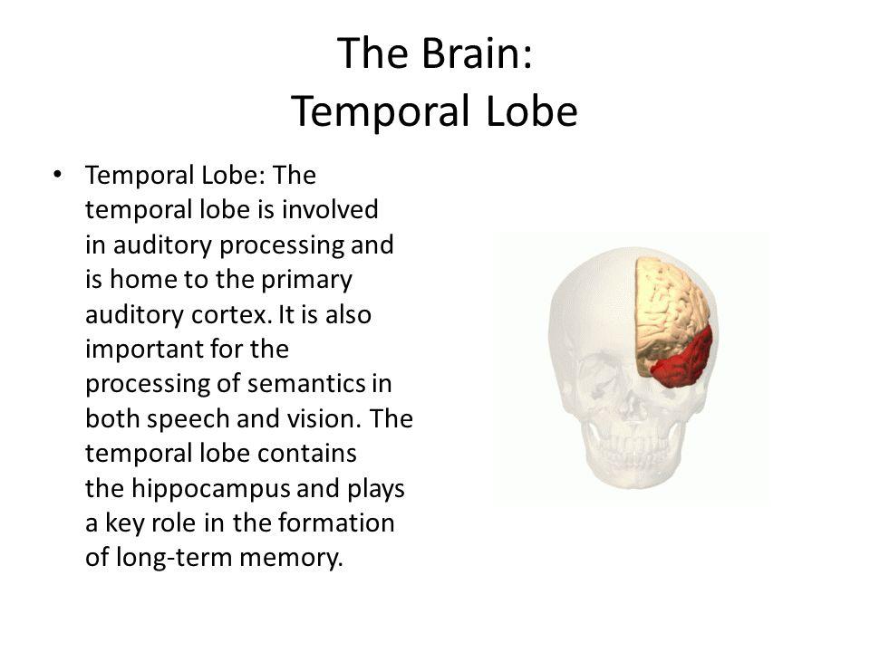 The Brain: Temporal Lobe