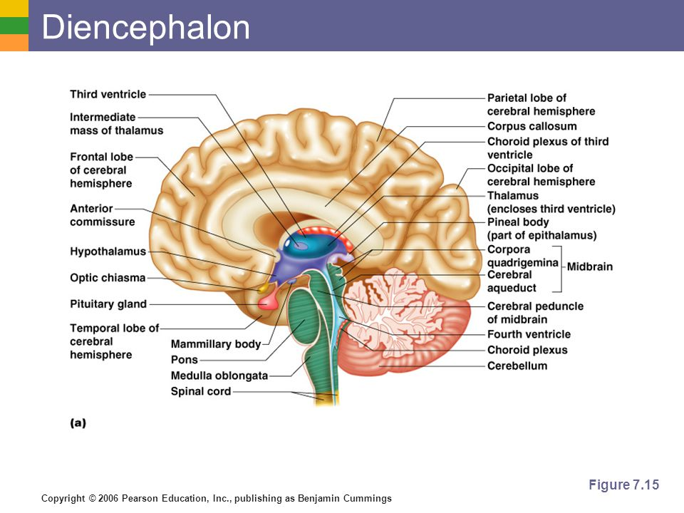 Diencephalon Figure 7.15