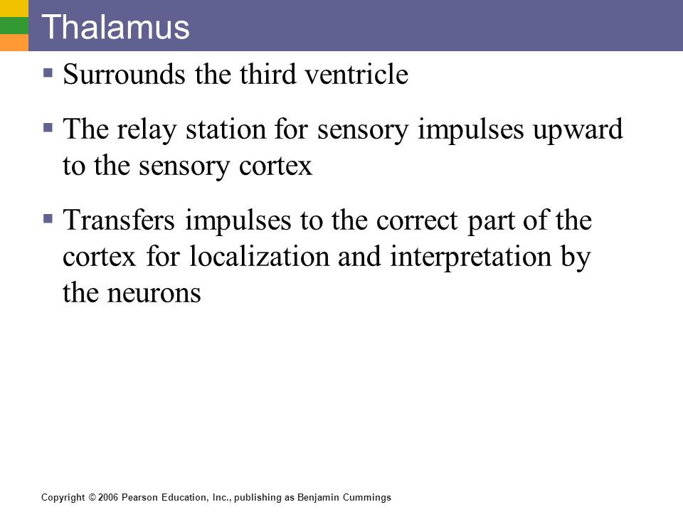 Thalamus Surrounds the third ventricle