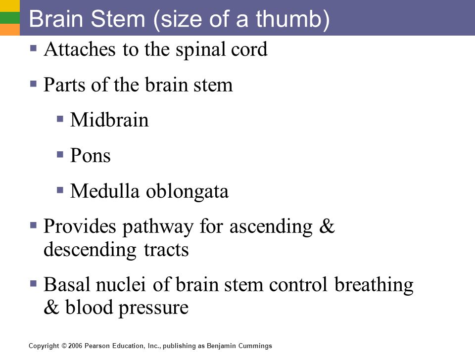 Brain Stem (size of a thumb)