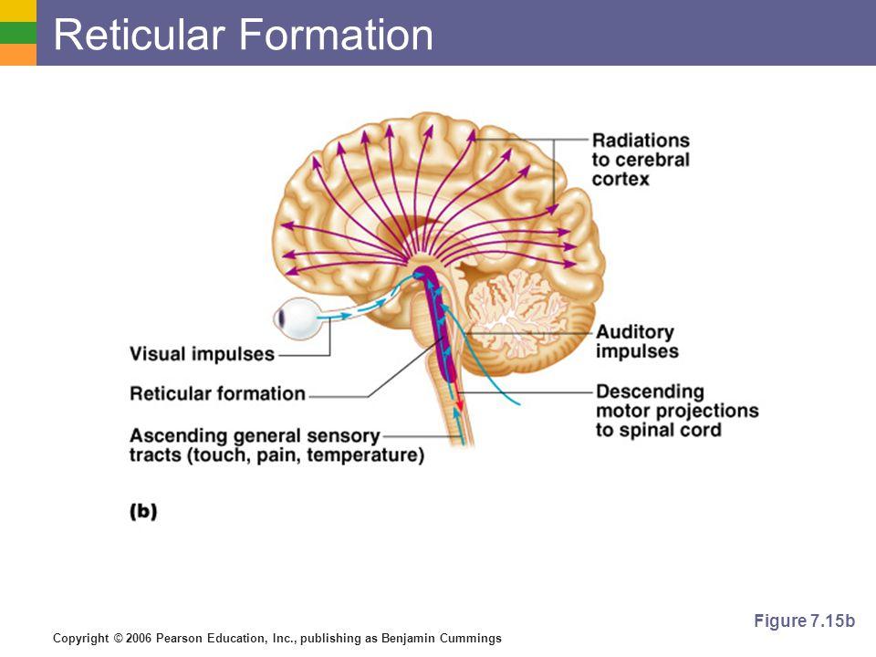 Reticular Formation Figure 7.15b