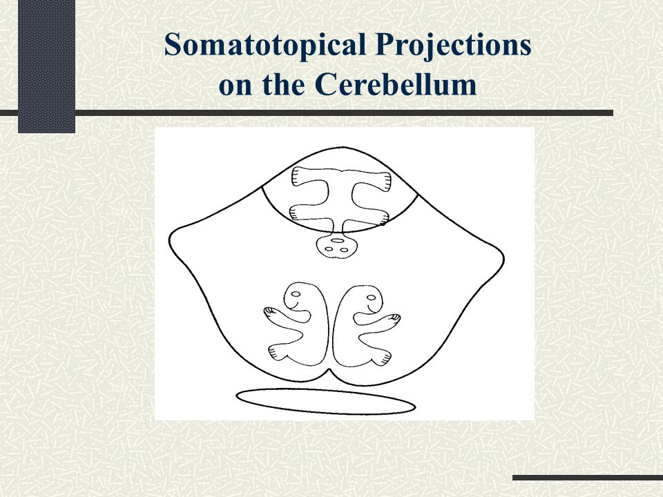 Somatotopical Projections