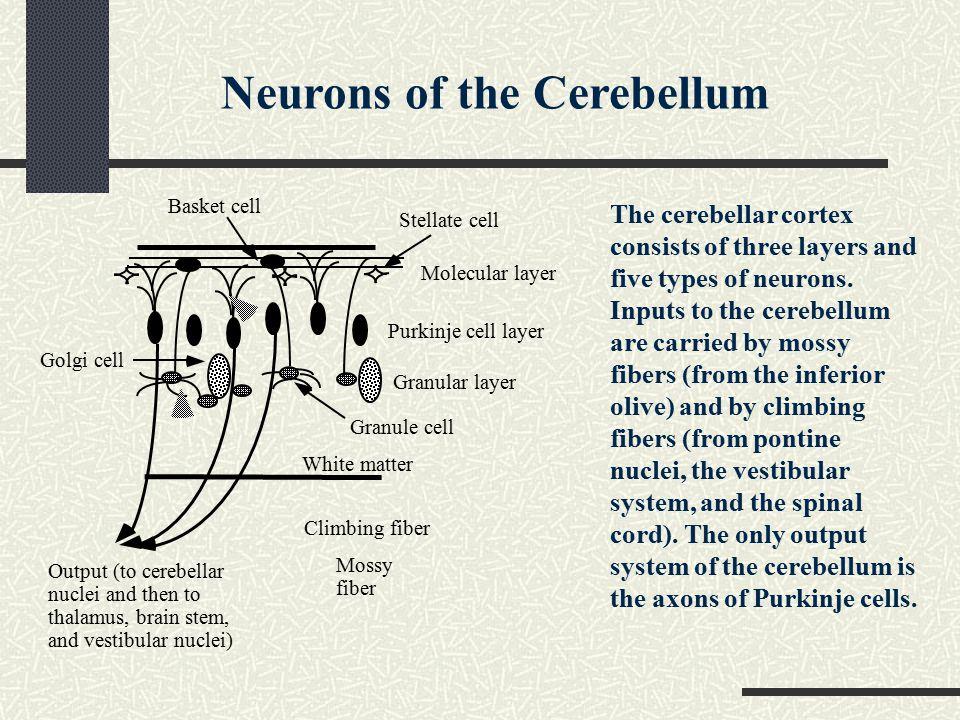 Neurons of the Cerebellum