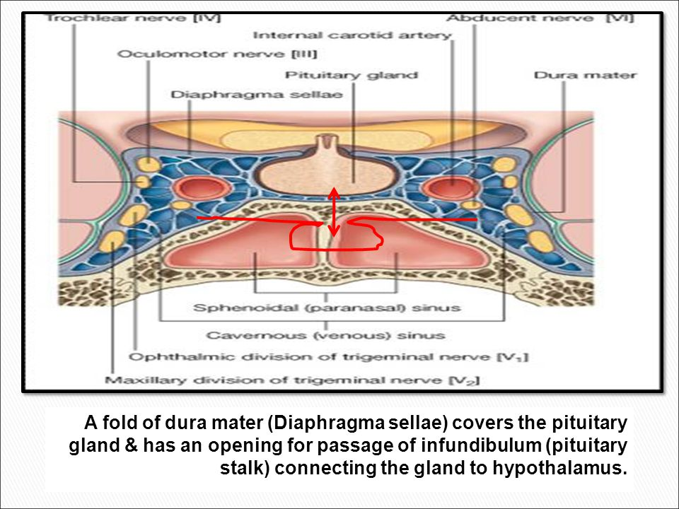 A fold of dura mater (Diaphragma sellae) covers the pituitary gland & has an opening for passage of infundibulum (pituitary stalk) connecting the gland to hypothalamus.