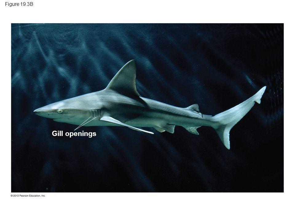 Figure 19.3B Gill openings Figure 19.3B A sand bar shark, a chondrichthyan 10