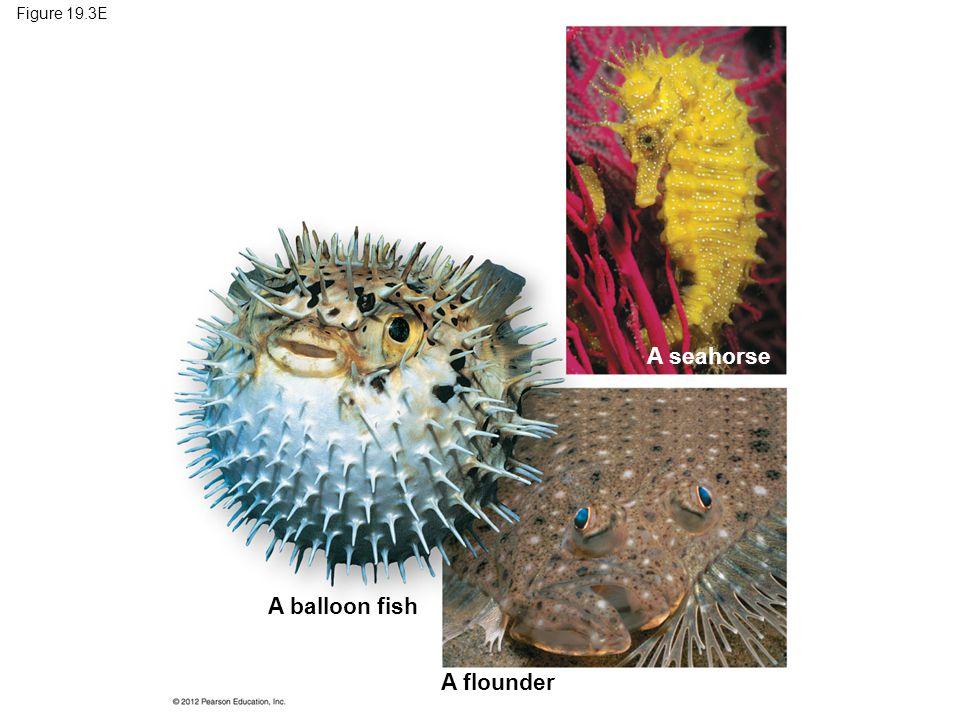 A seahorse A balloon fish A flounder Figure 19.3E