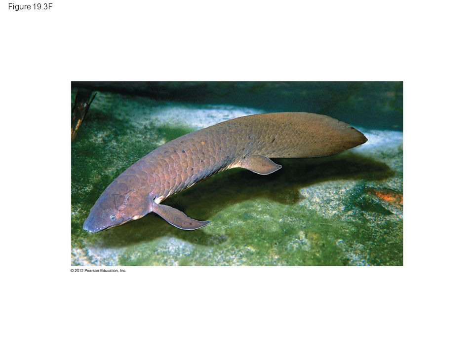 Figure 19.3F Figure 19.3F A lobe-finned lungfish (about 1 m long) 16