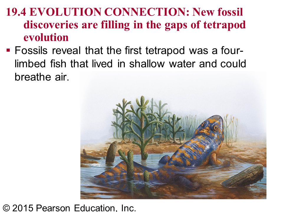 19.4 EVOLUTION CONNECTION: New fossil discoveries are filling in the gaps of tetrapod evolution