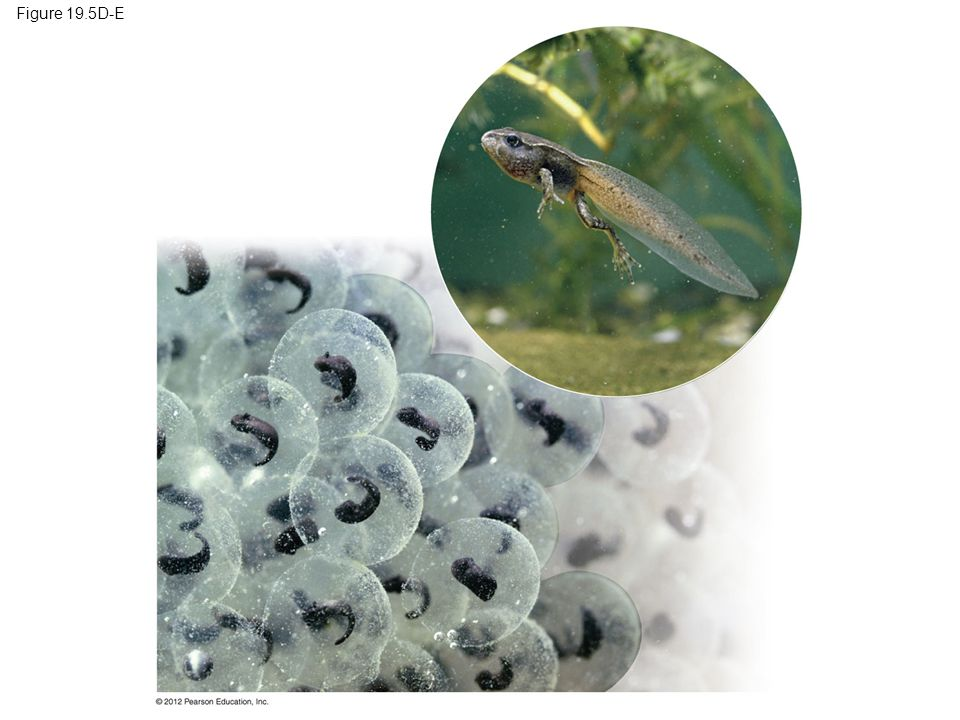 Figure 19.5D-E Figure 19.5D-E Frog eggs: a tadpole is developing in the center of each ball of jelly; tadpole undergoing metamorphosis (inset)