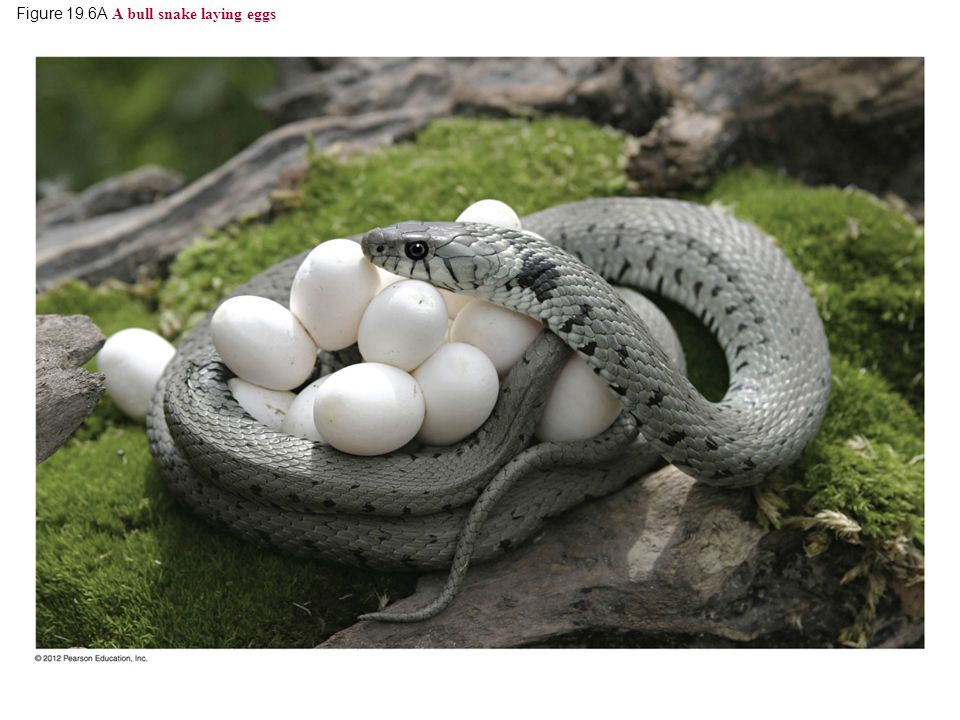 Figure 19.6A A bull snake laying eggs