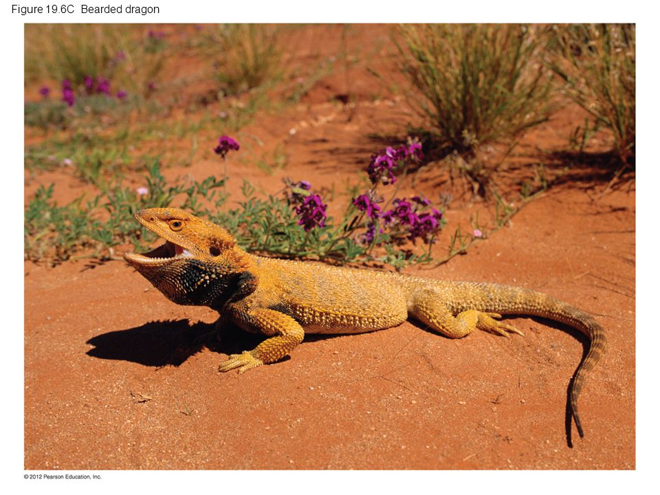 Figure 19.6C Bearded dragon