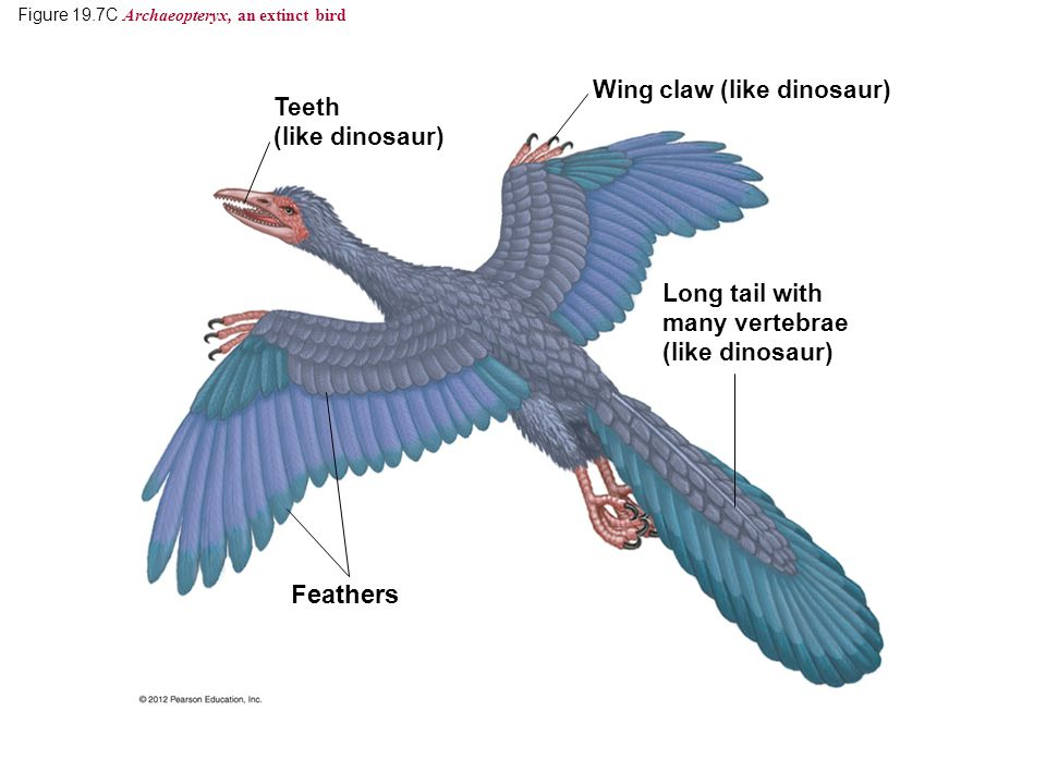 Figure 19.7C Archaeopteryx, an extinct bird