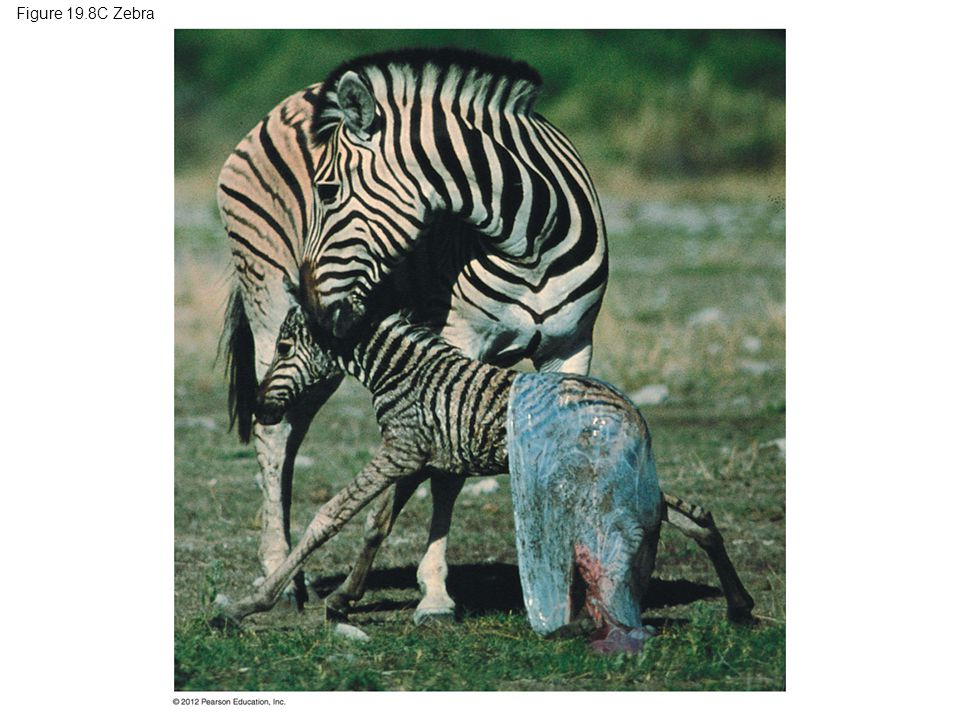 Figure 19.8C Zebra Figure 19.8C Eutherians: a zebra with newborn 36