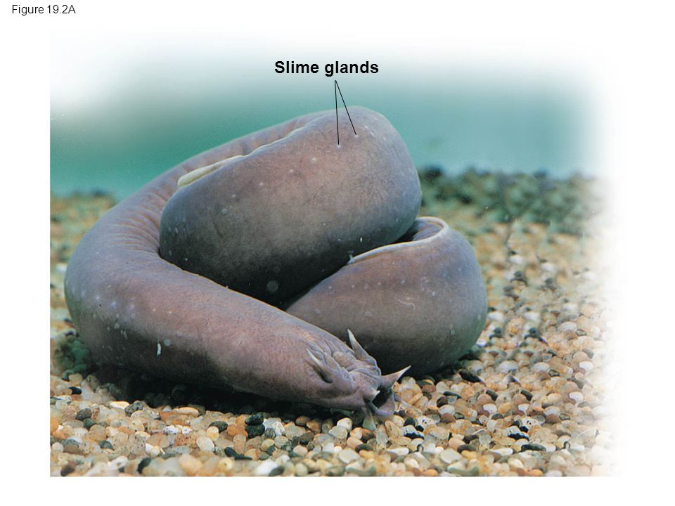 Figure 19.2A Slime glands Figure 19.2A Hagfish and slime (inset) 6