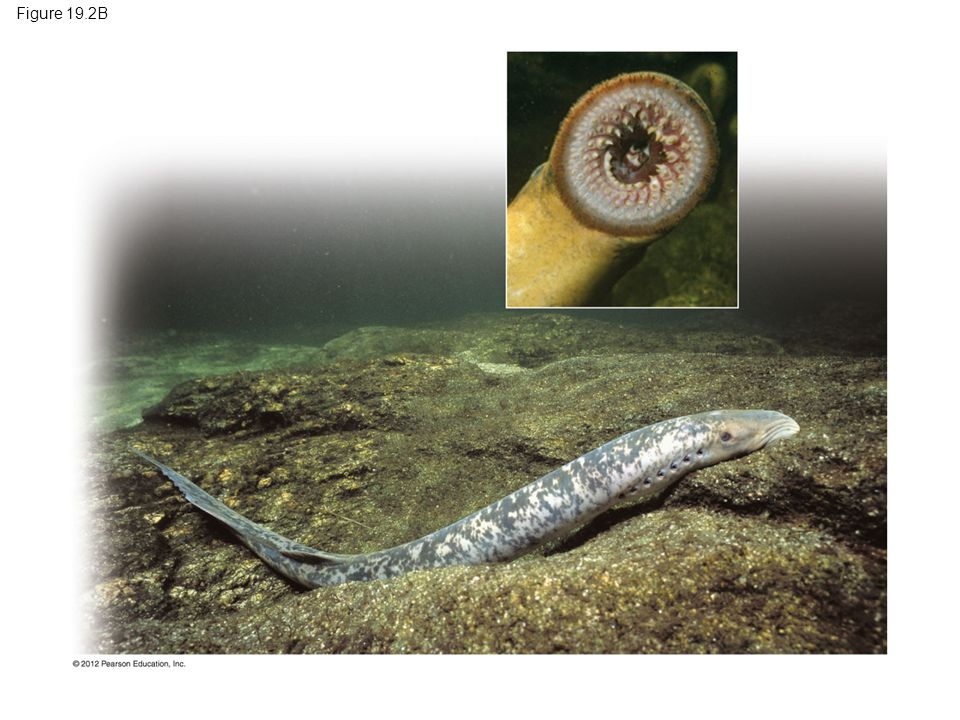 Figure 19.2B Figure 19.2B A sea lamprey, with its rasping mouth (inset) 7