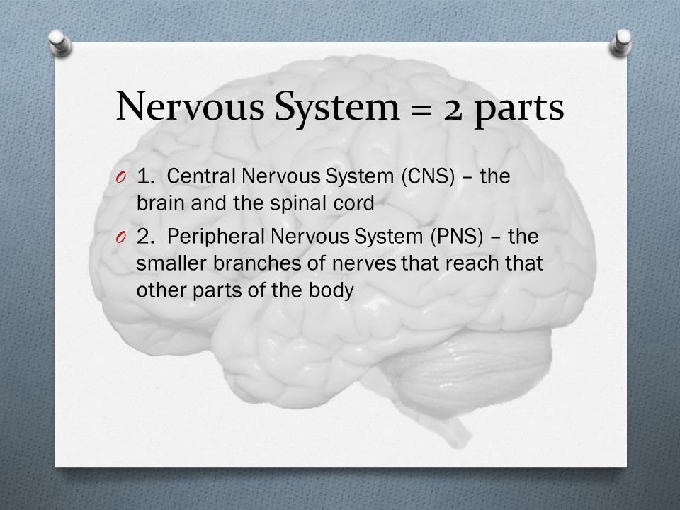 Nervous System = 2 parts 1. Central Nervous System (CNS) – the brain and the spinal cord.
