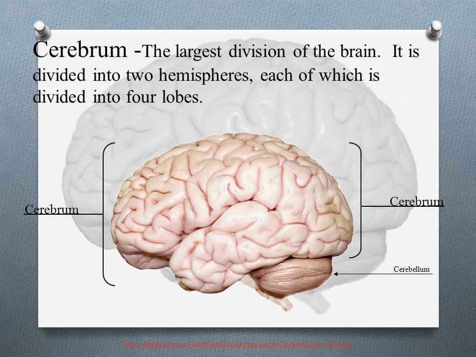 Cerebrum -The largest division of the brain