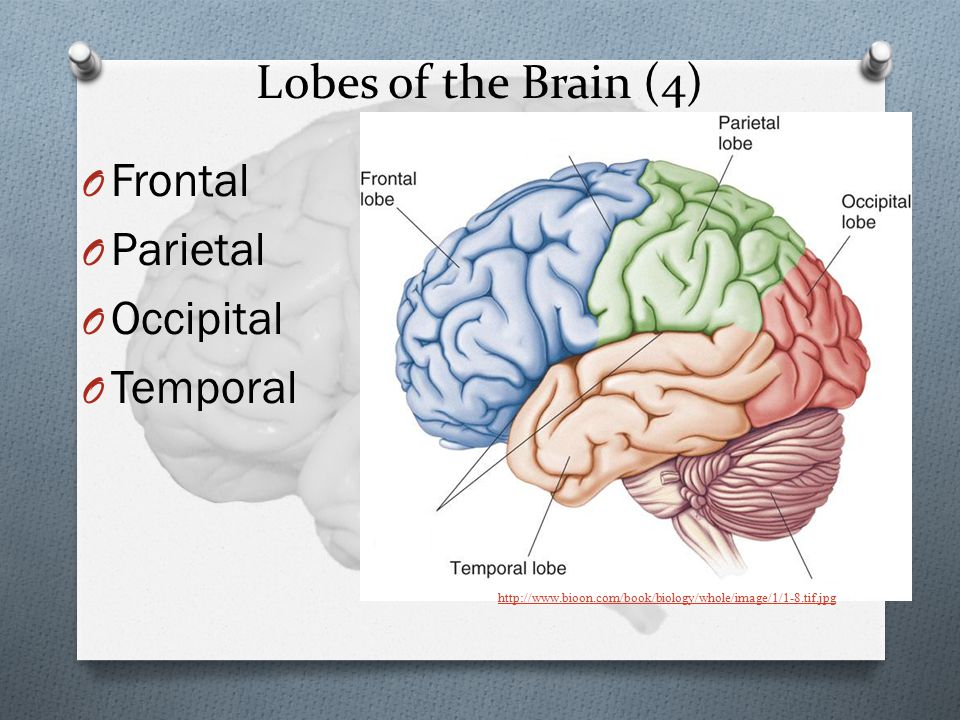 Lobes of the Brain (4) Frontal Parietal Occipital Temporal