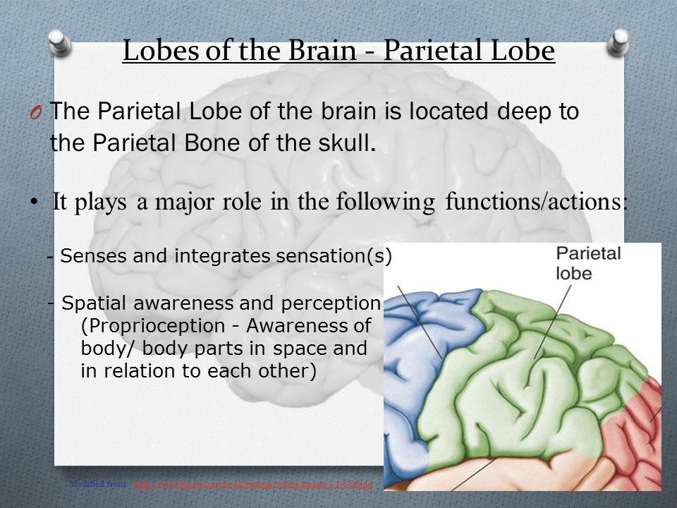 Lobes of the Brain - Parietal Lobe