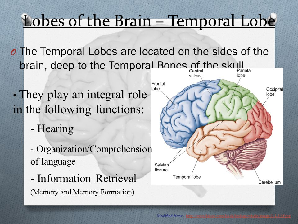 Lobes of the Brain – Temporal Lobe