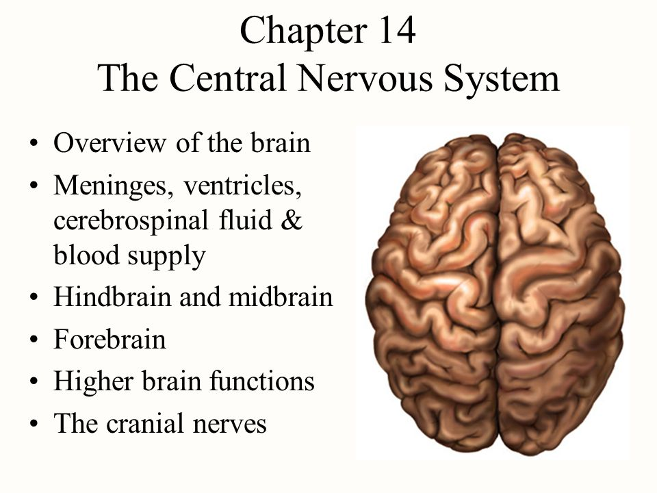 the human brain center of the nervous system A neuron is a nerve cell that is the basic building block of the nervous system neurons are similar to other cells in the human body in a number of ways, but there is one key difference between neurons and other cells.