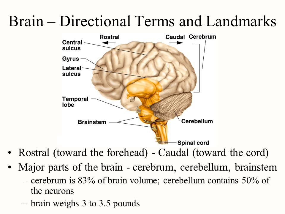 Brain – Directional Terms and Landmarks