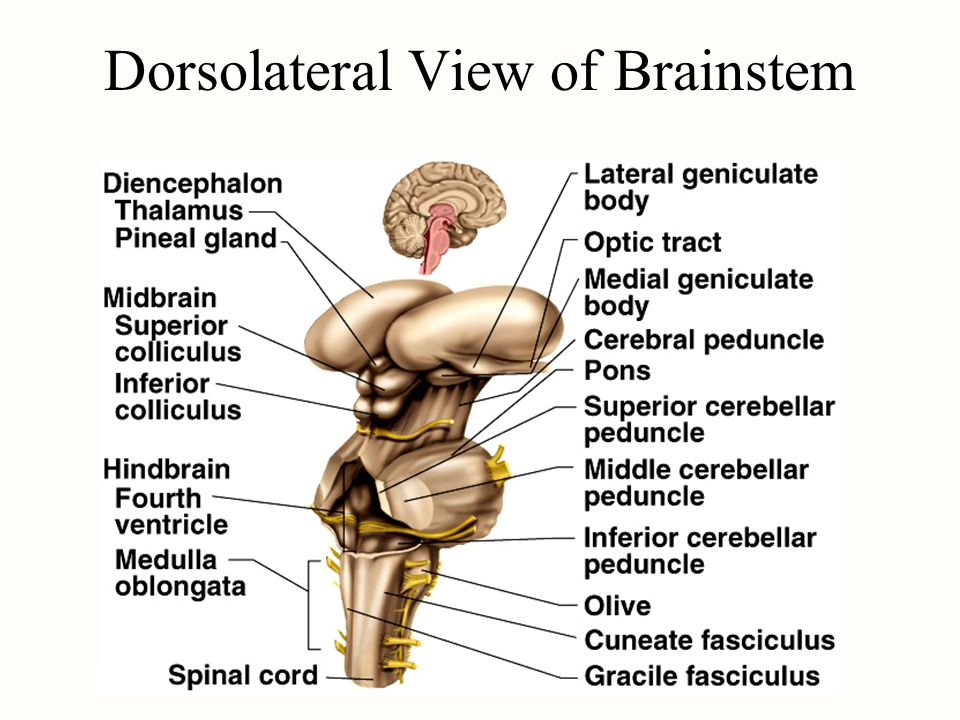 Dorsolateral View of Brainstem