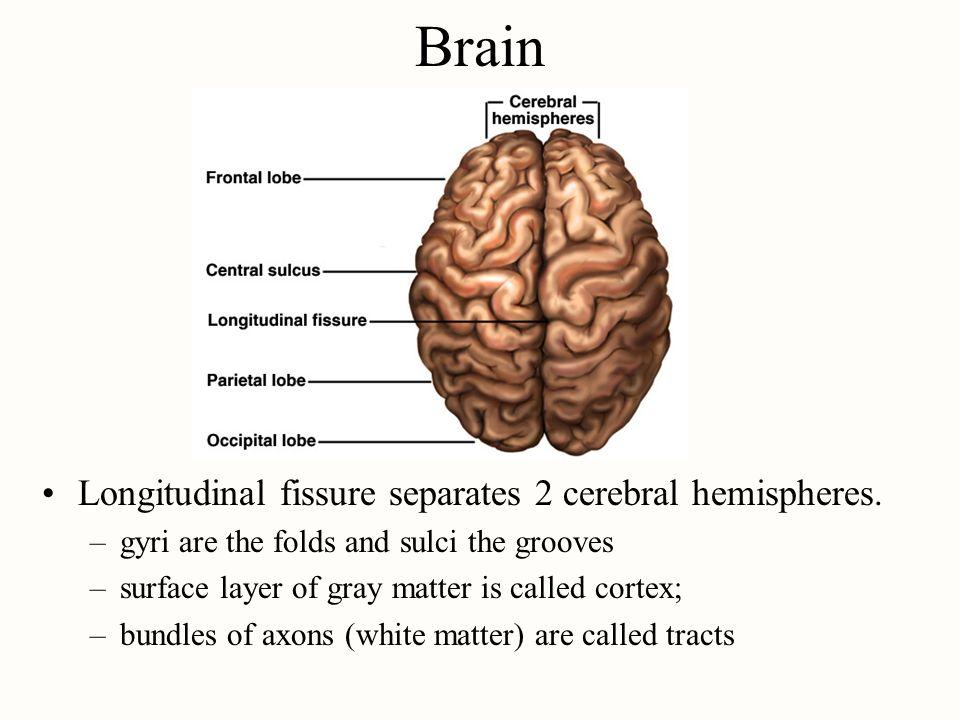 Brain Longitudinal fissure separates 2 cerebral hemispheres.