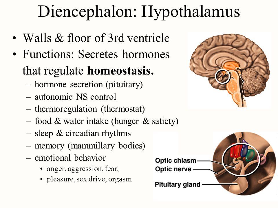 Diencephalon: Hypothalamus