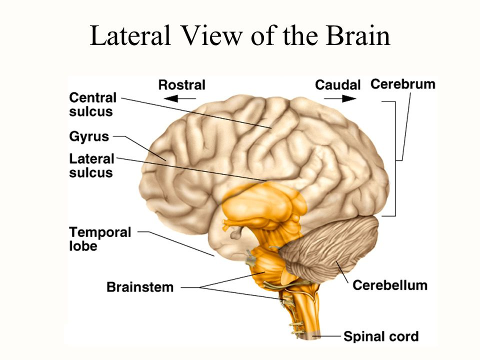 Lateral View of the Brain