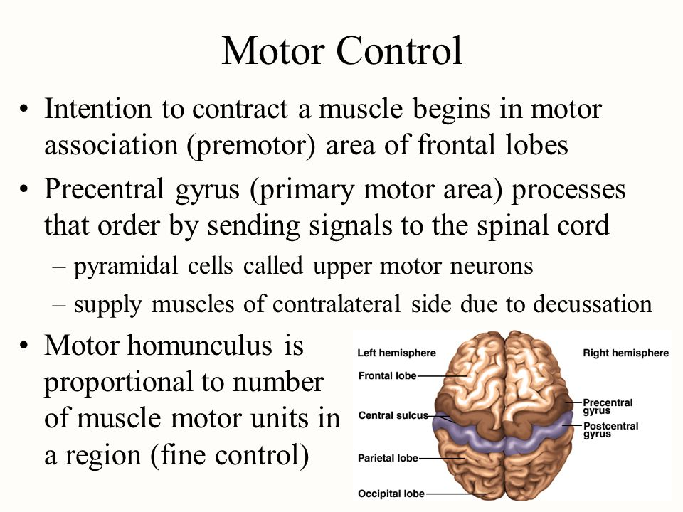 Motor Control Intention to contract a muscle begins in motor association (premotor) area of frontal lobes.