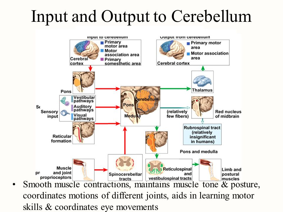 Input and Output to Cerebellum