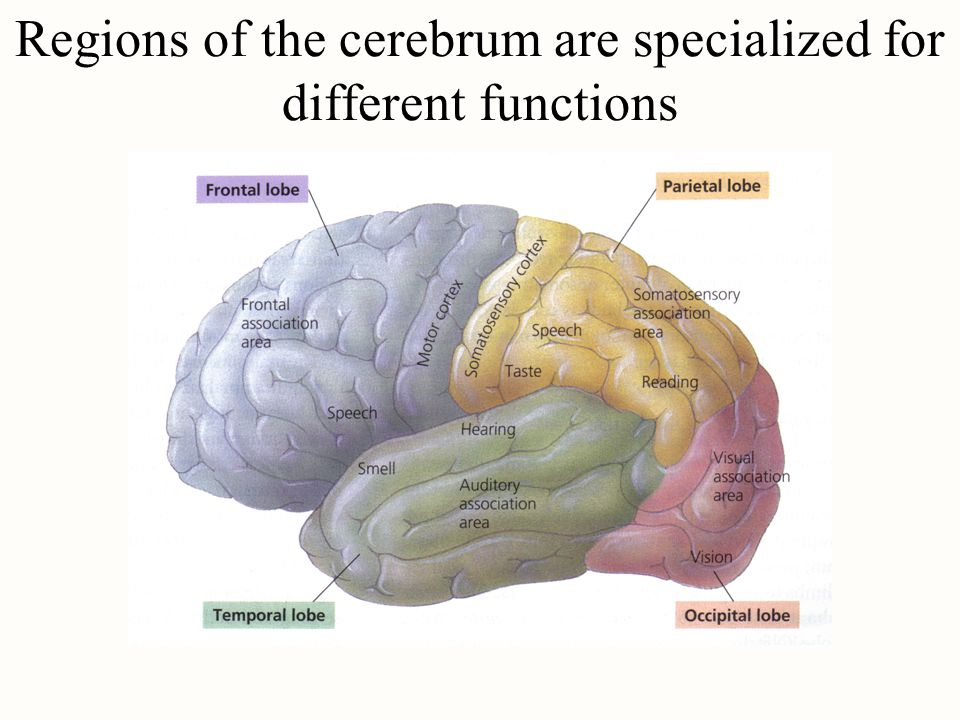 Regions of the cerebrum are specialized for different functions