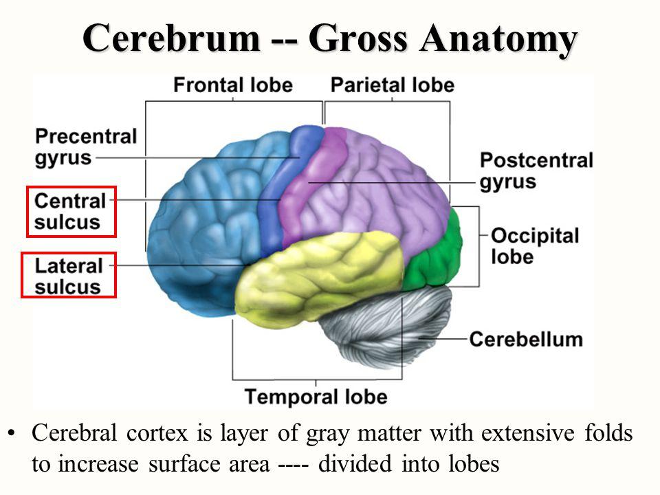 Cerebrum -- Gross Anatomy