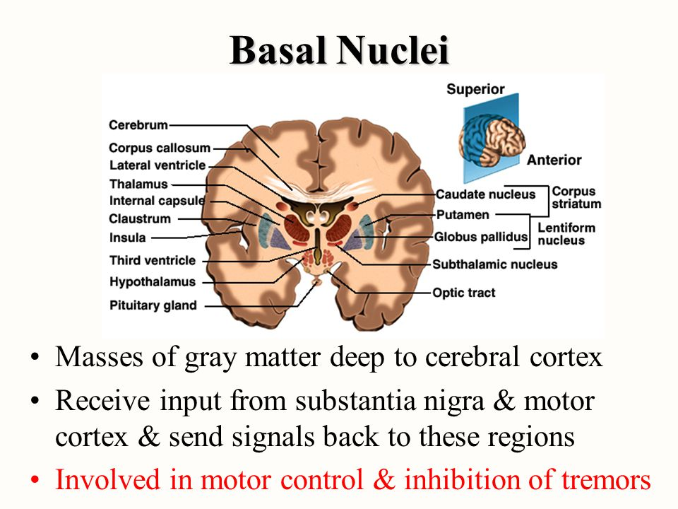 Basal Nuclei Masses of gray matter deep to cerebral cortex