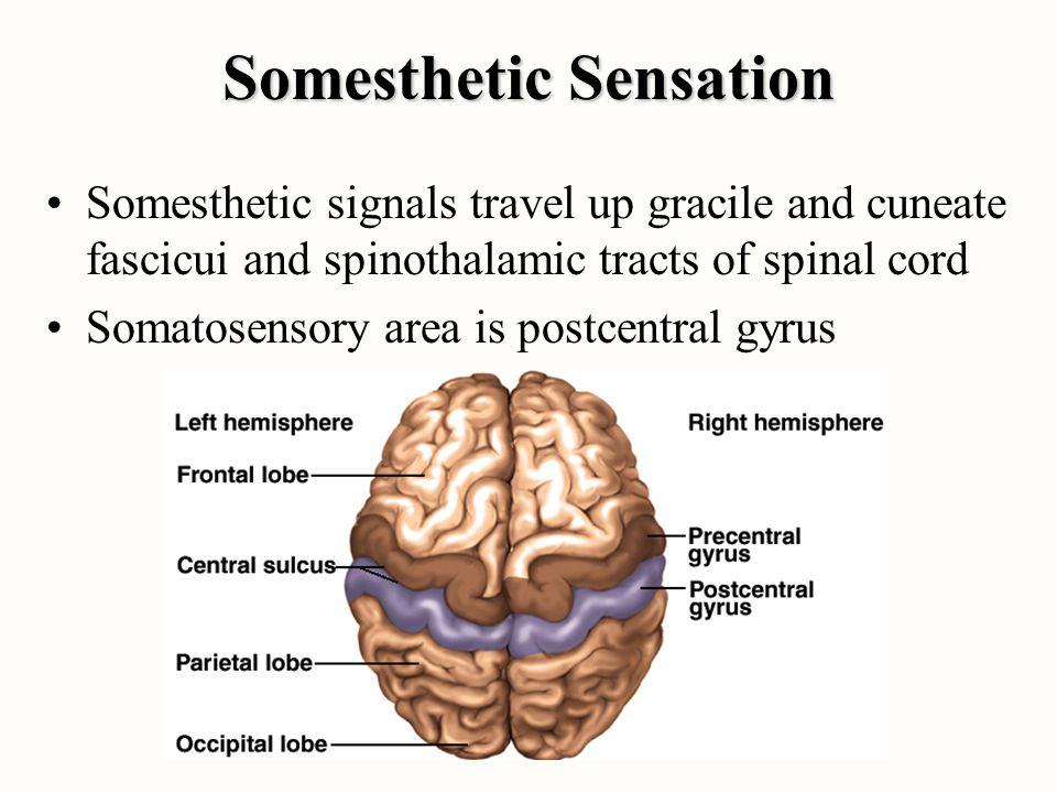 Somesthetic Sensation