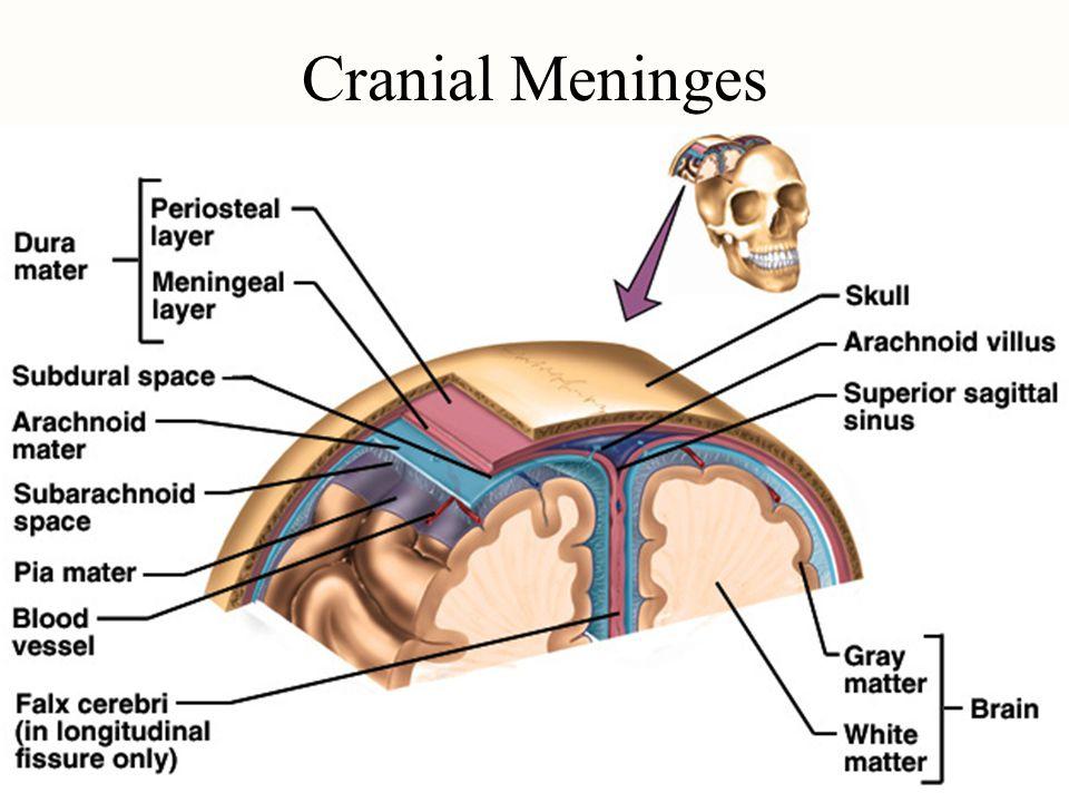 Cranial Meninges