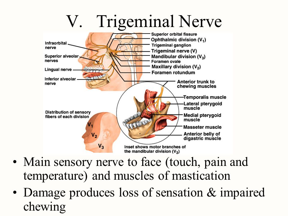 V. Trigeminal Nerve Main sensory nerve to face (touch, pain and temperature) and muscles of mastication.