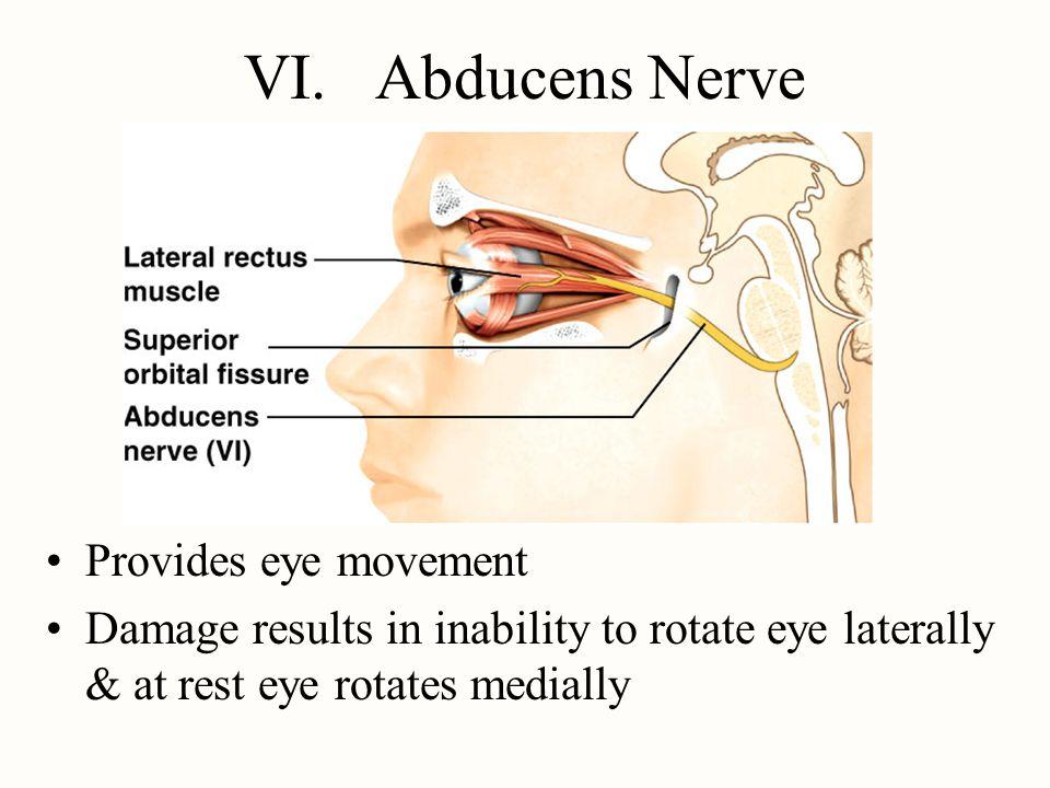 VI. Abducens Nerve Provides eye movement