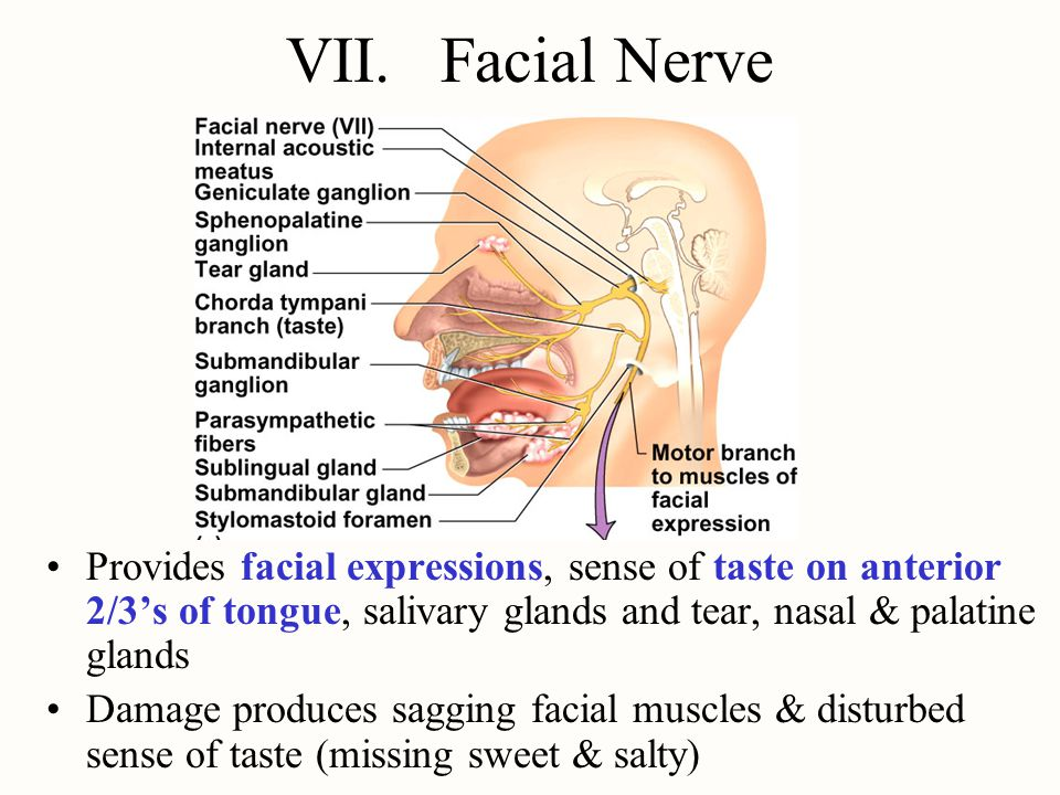 VII. Facial Nerve Provides facial expressions, sense of taste on anterior 2/3's of tongue, salivary glands and tear, nasal & palatine glands.