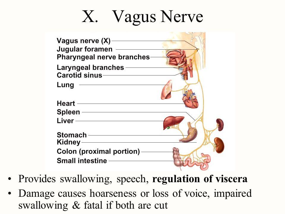 X. Vagus Nerve Provides swallowing, speech, regulation of viscera
